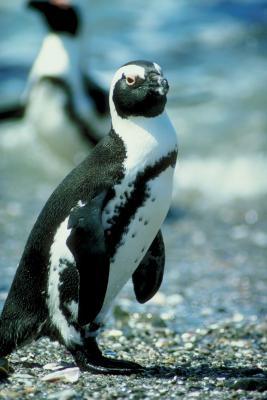 Hvordan få en Hard Hat på Club Penguin uten å være medlem